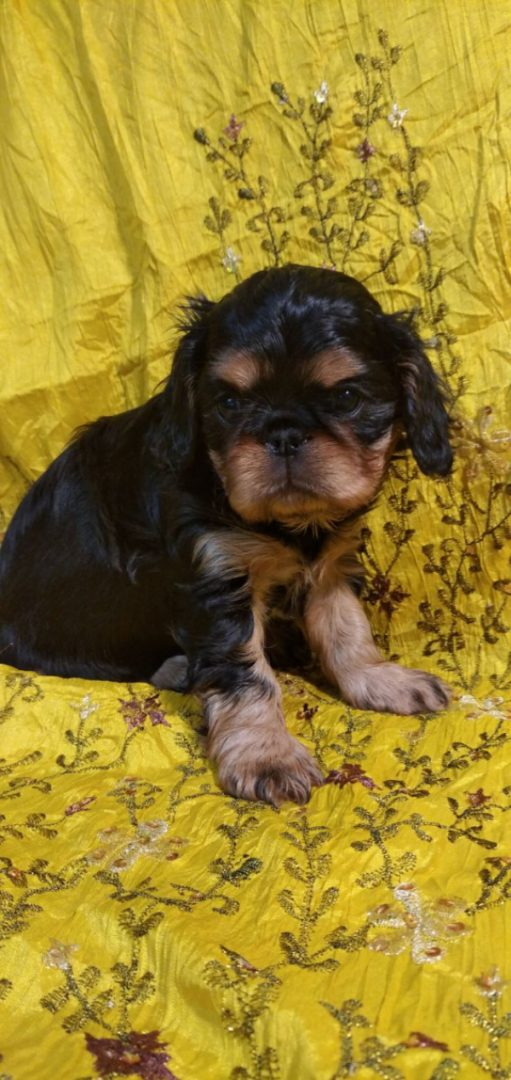 King Charles Spaniel puppies delivery available